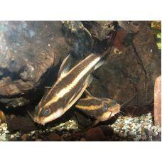 Сом Платидорас полосатый или поющий сом (4 - 5 см) местного разведения